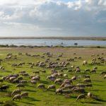 20101020_Sheep_shepherd_at_Vistonida_lake_Glikoneri_Rhodope_Prefecture_Thrace_Greece