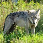 Gray_Wolf_Seney_NWR_2